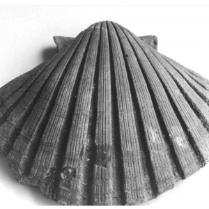 Torrente Stirone: Conchiglia fossile: Pecten jacobeus